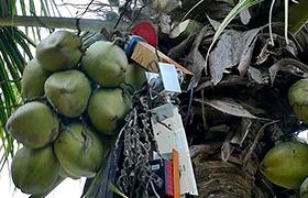 印度爬树万博体育登录网页版替你摘椰子